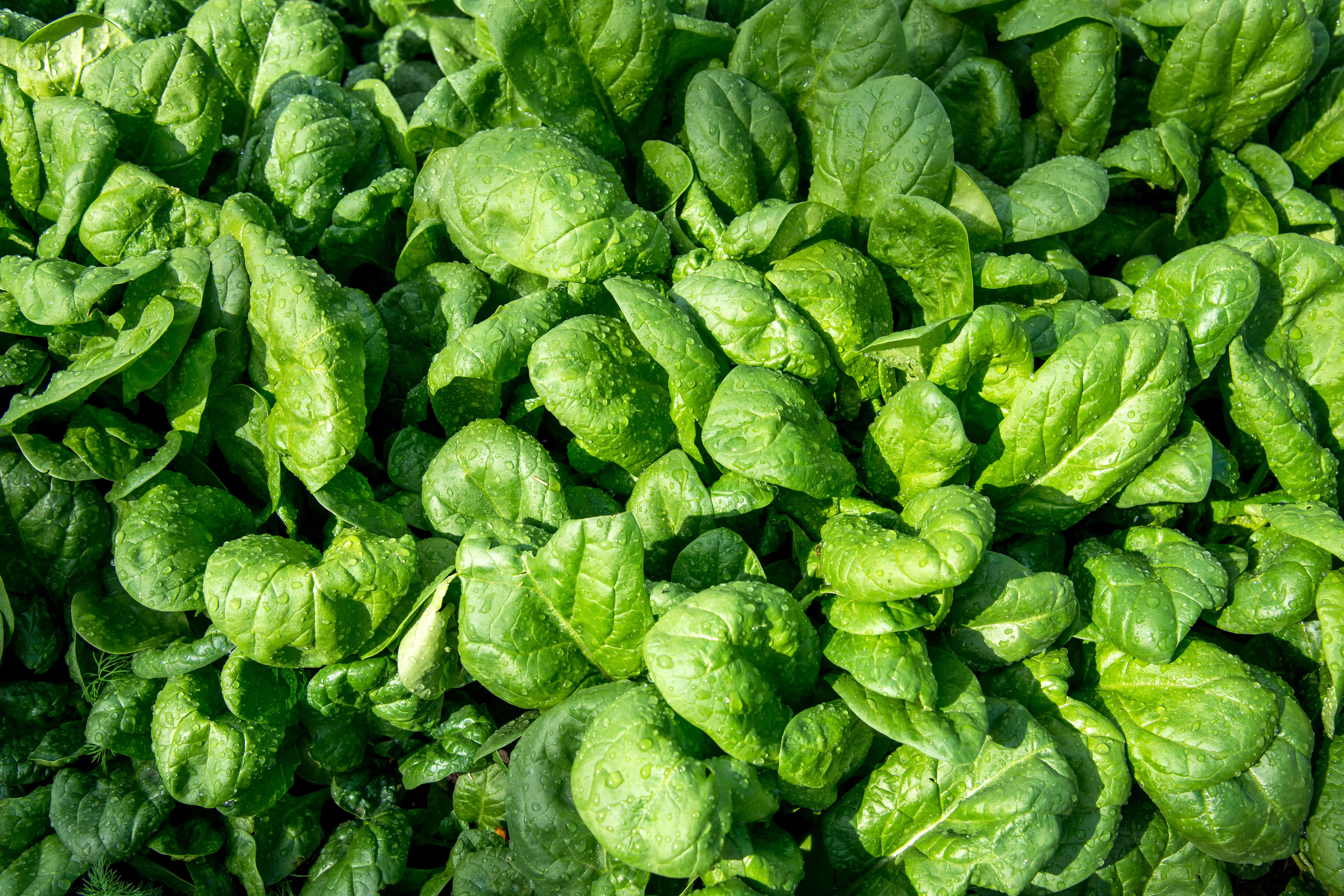 Close up of fresh spinach in an early spring garden